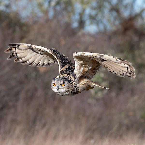Eurasian Eagle Owl (Bubo bubo) flying at the Gloucester ...