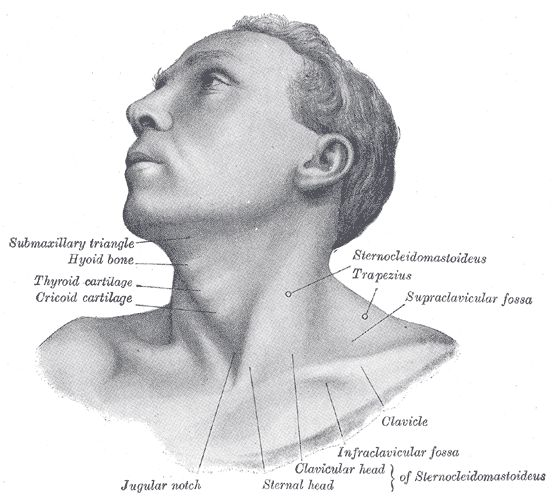 FIG. 1194 - Anterolateral view of head and neck.
