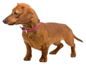 Toy Dachshund Breed Information and Pictures - United Canine Association