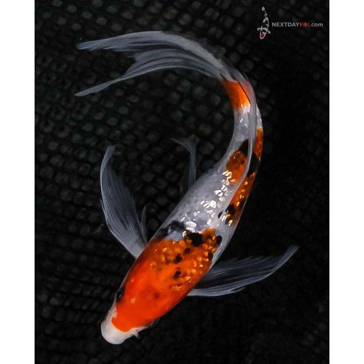 """7.5"""" Gin Rin Sanke Butterfly Koi   Koi Fish For Sale"""