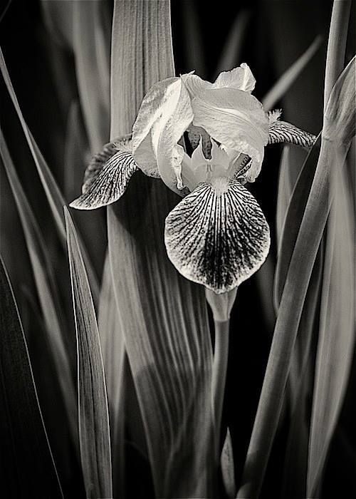 37 best images about Orchid black & white on Pinterest ...