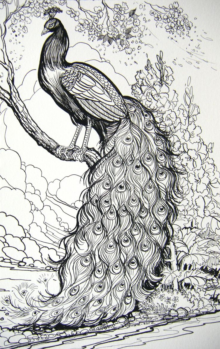 peacock ink drawing Google Search pikok inspiration