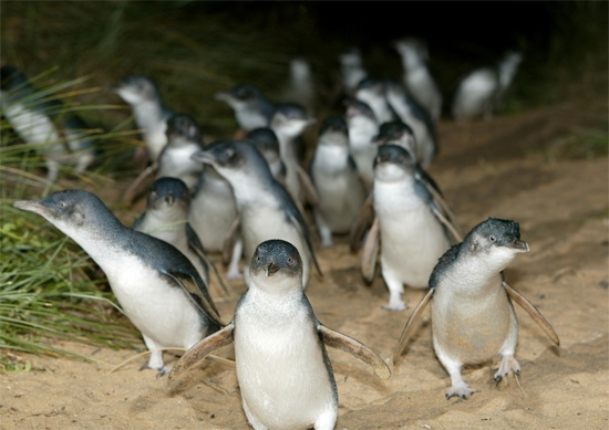 """When in Melbourne, make sure to take a day trip to Phillip Island to see the """"little penguins"""" walk ashore, as they do each night, up to their nests in the hillside. You can't take photos or use lights, but it's thrilling nonetheless!"""