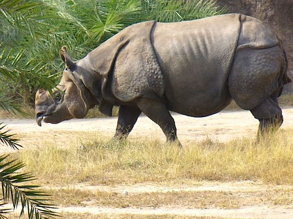 The prehistoric-looking Javan rhinoceros is one of the world's rarest large mammals. The rate of reproduction in this species is relatively slow; females give birth to a single young every one to three years, after a presumed gestation of 15 to 16 months, as in other rhinos. With the exception of mothers with their offspring and mating pairs, the Javan rhinoceros is a largely solitary species.