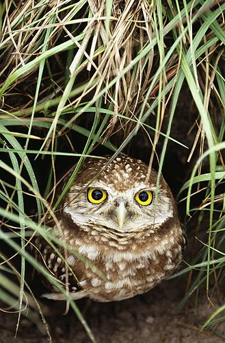 A Burrowing Owl: Florida, USA.