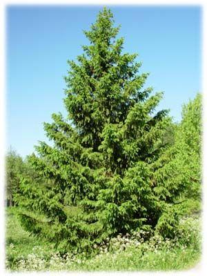 Picea abiesGranPinaceae FurufamilienLIGNOSE