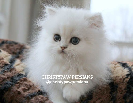 Christypaw Persians Silver Shaded Silver Chinchilla Golden Blue Golden Persian Kittens For Sale
