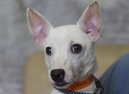 Petango.com – Meet Sundance, a 1 year 1 month Chihuahua, Short Coat / Terrier available for adoption in COLORADO SPRINGS, CO