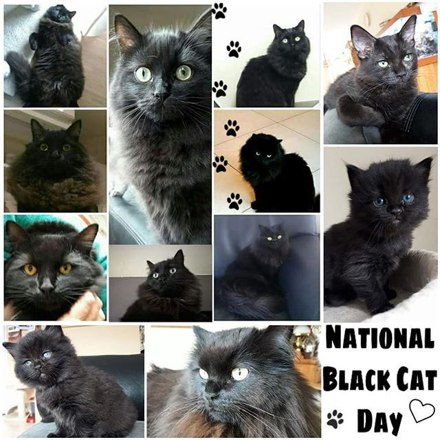 National Black Cat Day All The Gisako Black Beauties We Had So Far Including Our Very National Black Cat Day Al Black Cat Day National Black Cat Day Cats