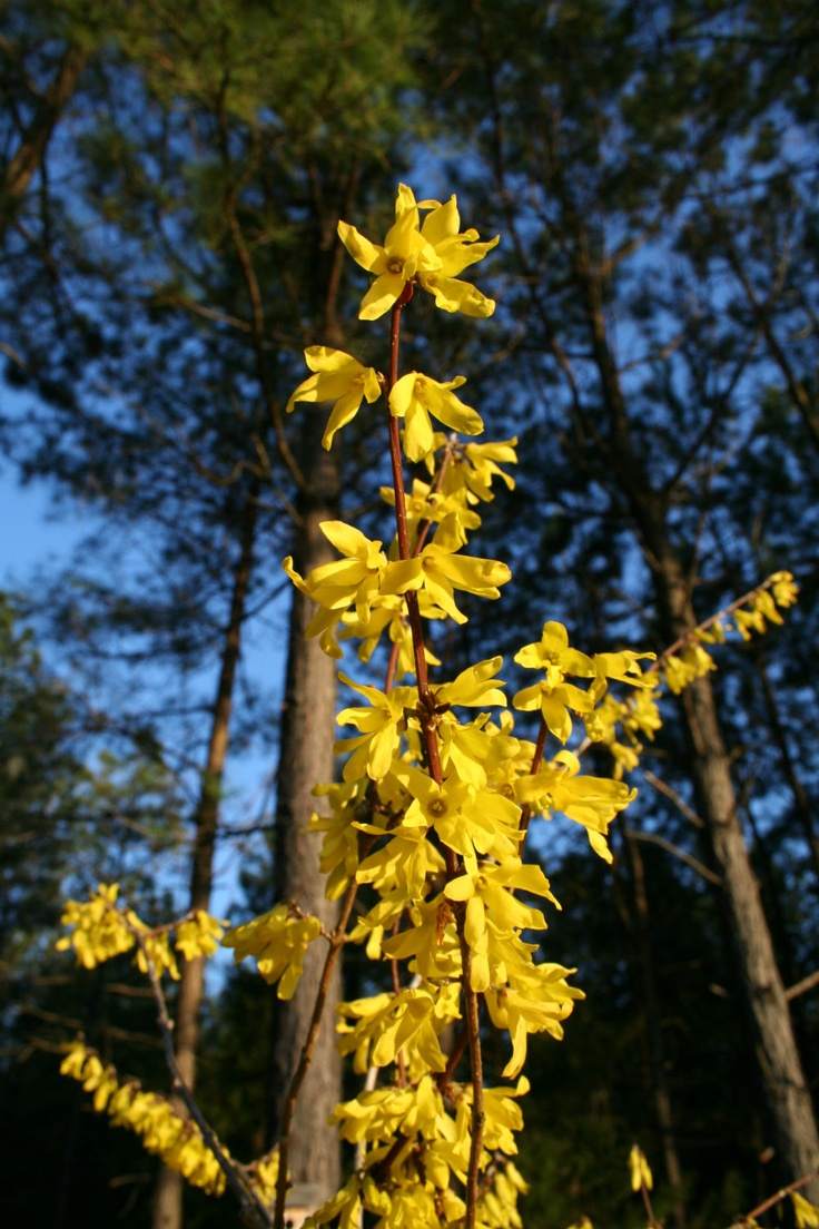 68 best green thumb flowering trees shrubs images on pinterest new article profiling forstyhia and kerria spring and summer shrubs with yellow flowers dhlflorist Gallery
