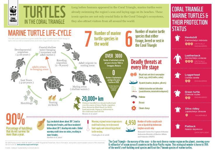 Key facts on marine turtles in the Coral Triangle, the world's epicentre of marine biodiversity.5year and 10year goal -going to school and working at a marine animal facility -Phd