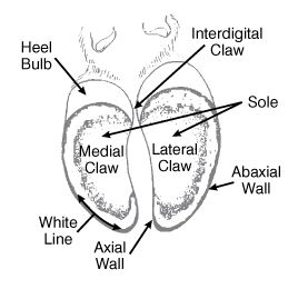 Hoof Anatomy Bottom View - about cows but goats are similar #goatvet