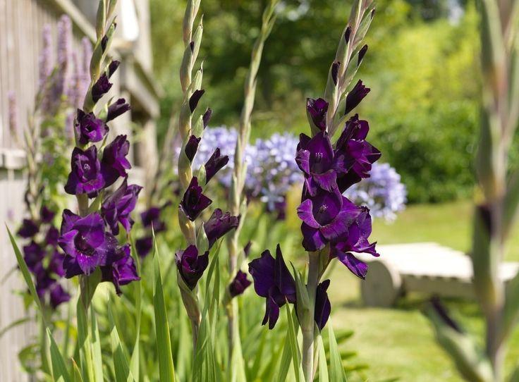 25 beste idee n over gladiolen op pinterest gladiool de bloem bloemen snijden en tuinbloemen - Ontwikkel een studio van m ...