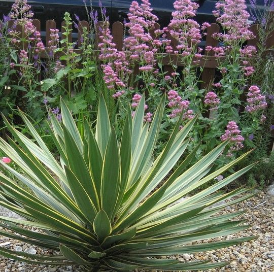 Yucca Gloriosa Variegata 'Variegated Spanish Dagger' - Plants & Trees Online