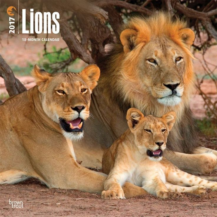While the male lion may sport an impressive mane, it is the female that stalks the prey and hunts. Perhaps the lioness should be called Queen of the Jungle. Take pride in your love for lions with this square wall calendar.