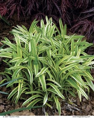 BEST PERENNIALS FOR SUNNY BORDERS (Shown:  Variegated Lilyturf - Liriope muscari 'Variegata') | Fine Gardening