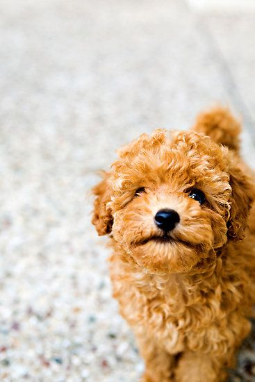 all-things-bright-and-beyootiful:    Sundae the Miniature Poodle ~ by Charlotte Reeves