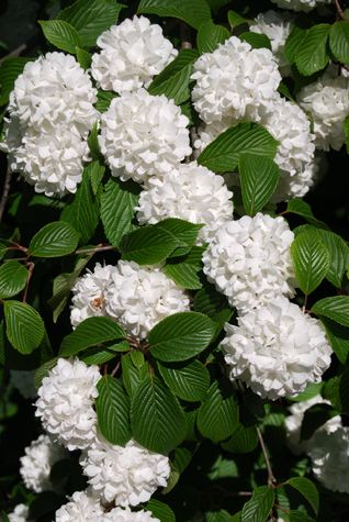 White snowball bush. Another wonderful childhood memory bush. I had one at my house and it died a few years ago. I need to get another one.