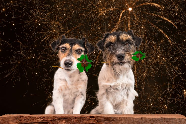 "Dog looking forward to ""cower under the toilet night"" this weekend -- A dog has told of his love of the 5th of November festivities, or ""cower under the toilet night"" as it's known in the canine world. The Yorkie/Maltese cross called, appropriately, Shakey told The Rochdale Herald ""I love this time of year. There's Diwali, then Guy... --  -- https://rochdaleherald.co.uk/2017/11/03/dog-looking-forward-cower-toilet-night-weekend/"