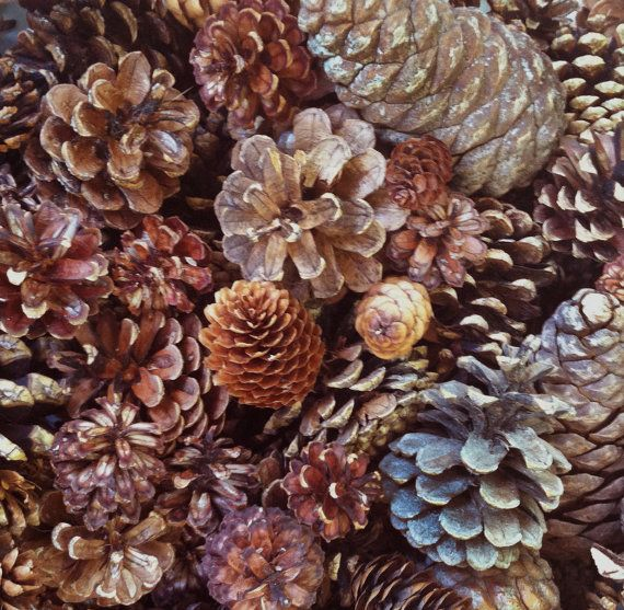17 best images about pinecones on pinterest large for Large christmas pine cones