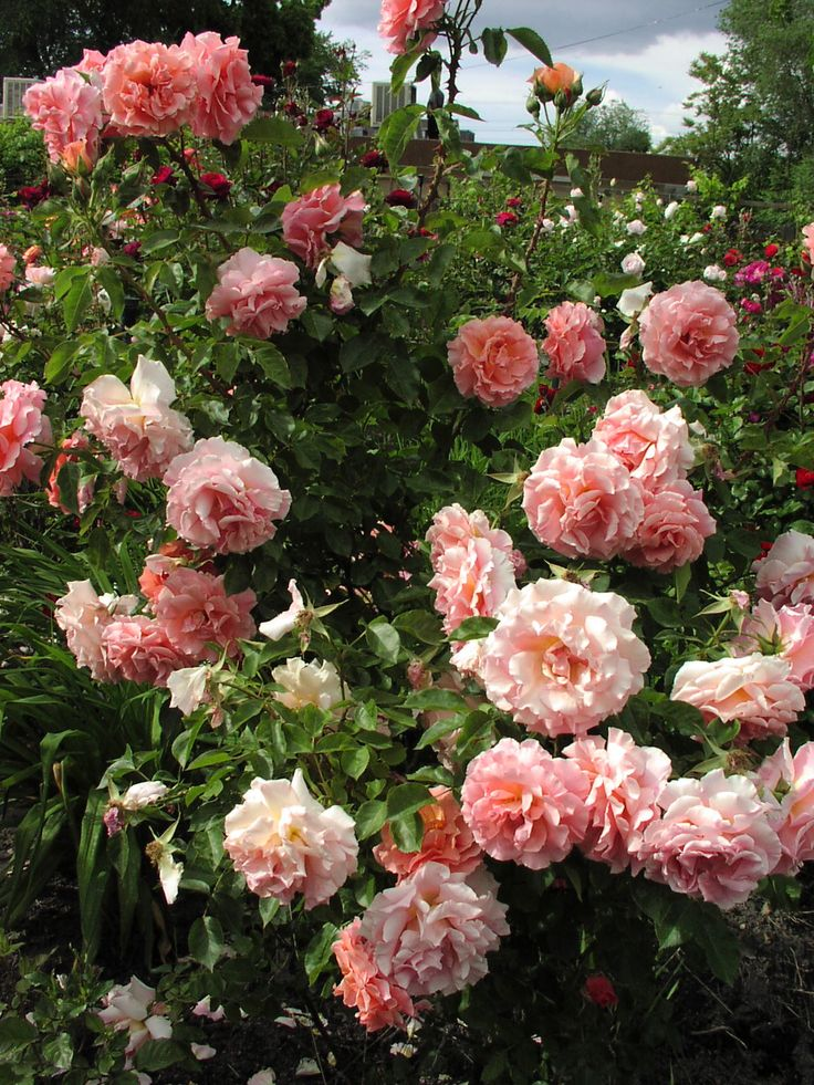 The Most Beautiful Roses In The Rose Garden