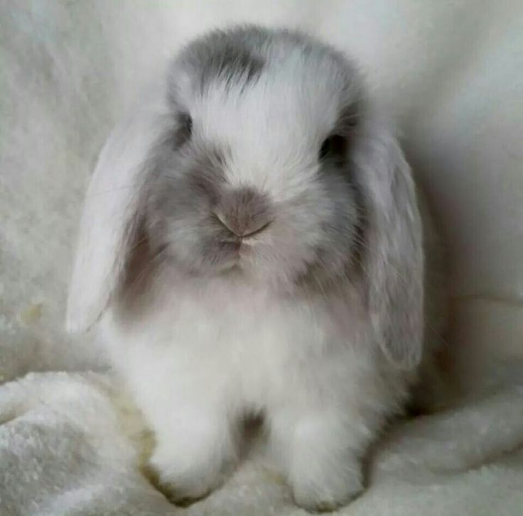 Gilly's Plush Lop Uk Peppermint Patti White Eared Lilac Magpie Mini Lop