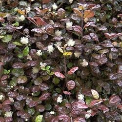 Lophomyrtus x ralphii 'Kathryn' -