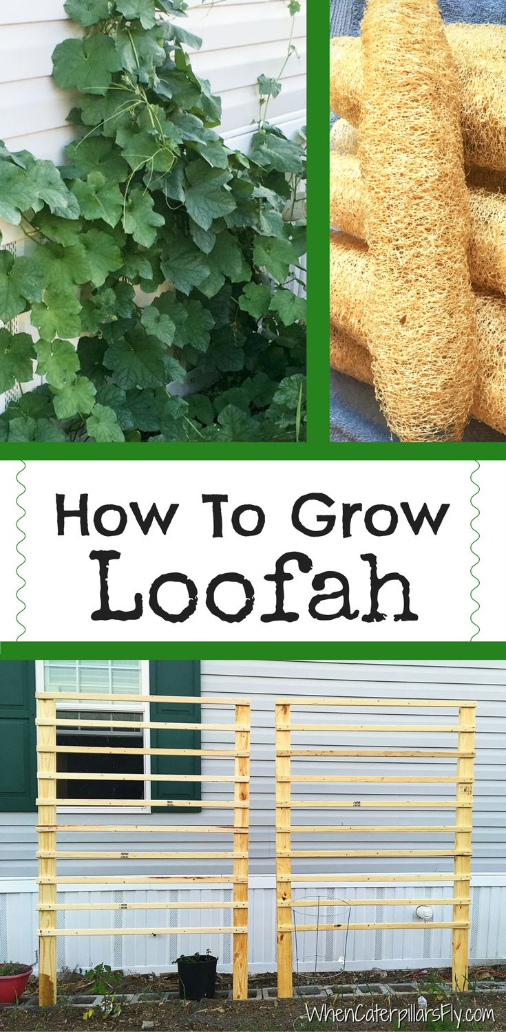 How To Grow Loofah - When Caterpillars Fly