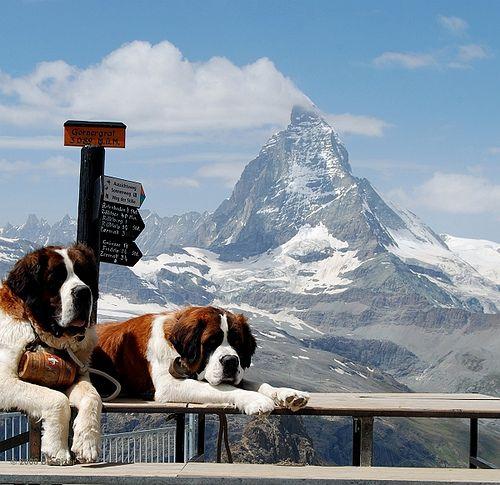Lifesavers of the Matterhorn - cani san Bernardo <3