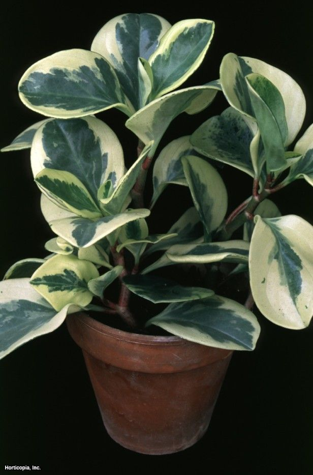 Blunt Leaf Peperomia (Peperomia obtusifolia 'Variegata')