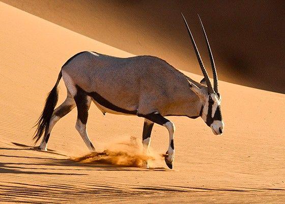 Um órix desce uma duna na região de Deadvlei (Foto: © Haroldo Castro/Época)