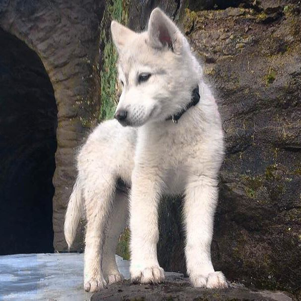 Only Had Him 2 Weeks And He Already Looks So Different Wolf
