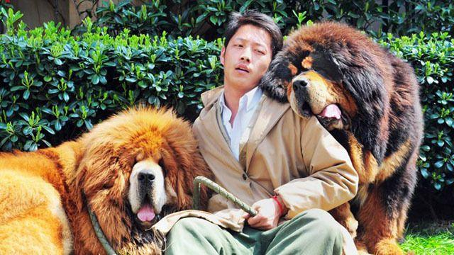 A világ egyik legdrágább kutyája a tibeti masztiff - Hírek #tibeti #masztiff #tibetianmastiff #tibetian #mastiff #expensive #dog #kutyabaráthelyek