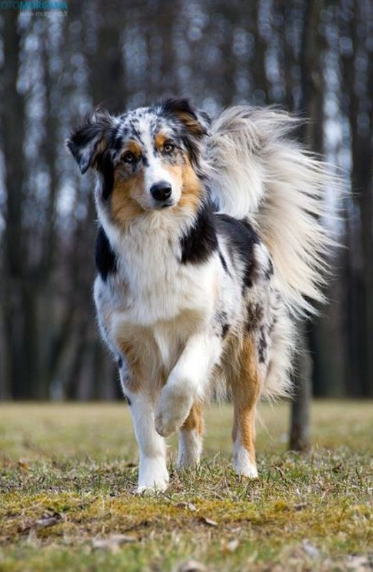 An Aussie with a tail looks so majestic. I love my patches with a tail. They also look a lot better with a tail, then one without no tail.
