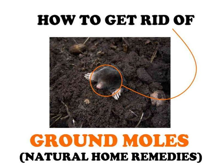 How to get rid of yard moles. | Natural home remedies ...