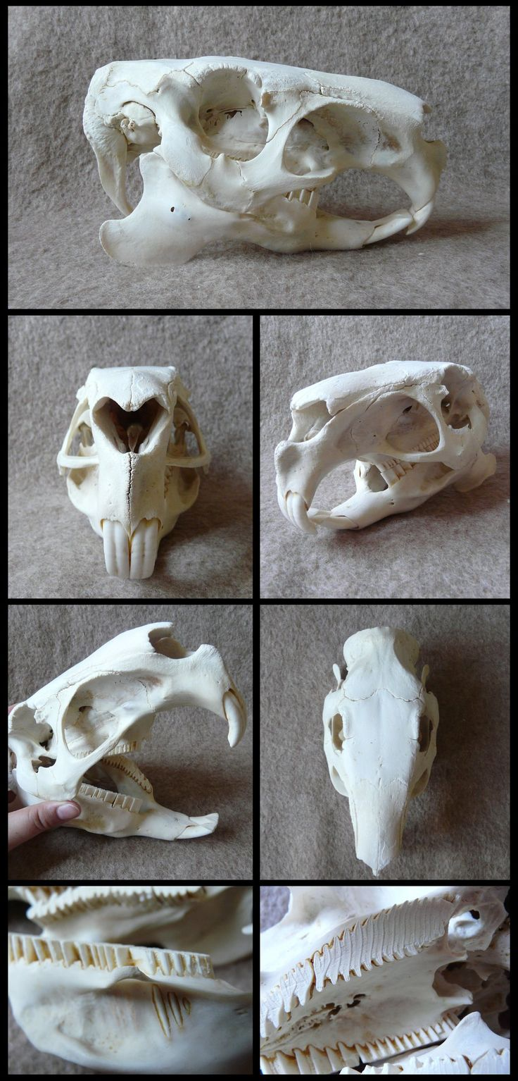 Capybara Skull by CabinetCuriosities.deviantart.com on @DeviantArt