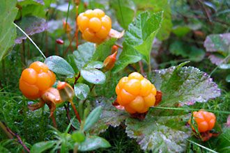Delicious cloudberries grow especially in Kainuu.