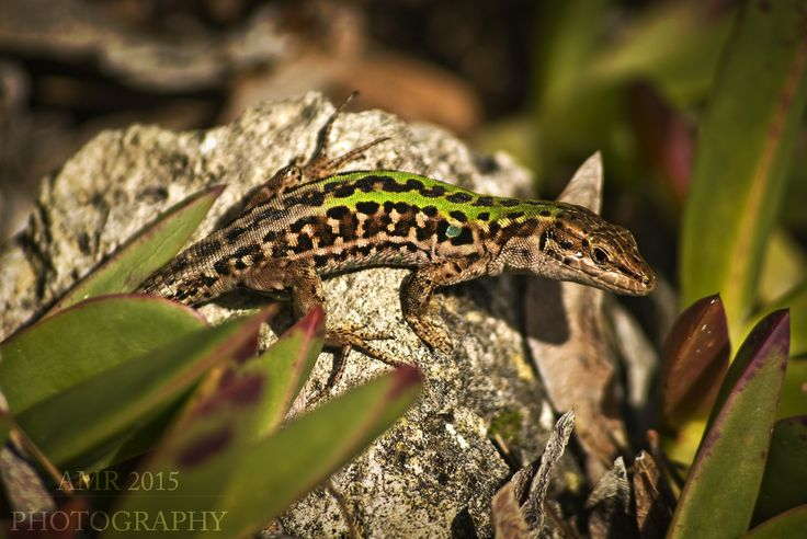 Podarcis sicula Lizard Lucertola AMR Photography 2015
