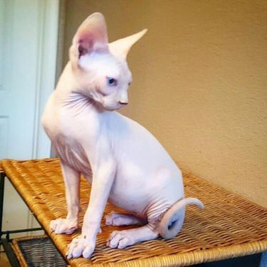 Image result for sphynx ca pictures