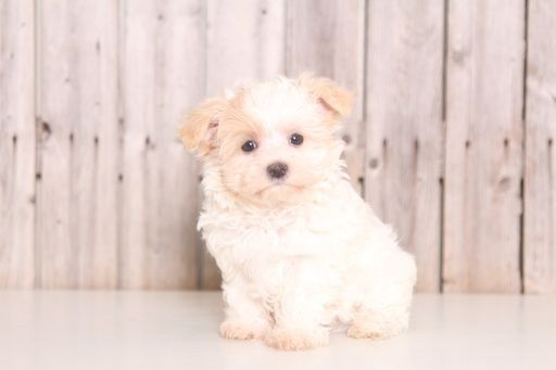 Morkie puppy for sale in MOUNT VERNON, OH. ADN-47469 on PuppyFinder.com Gender: Male. Age: 8 Weeks Old #Maltese