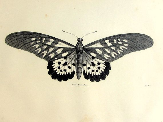 Vintage french butterfly print, antique original 1860 lepidoptera engraving, papillon plate illustration, insect zoology animal for framing.