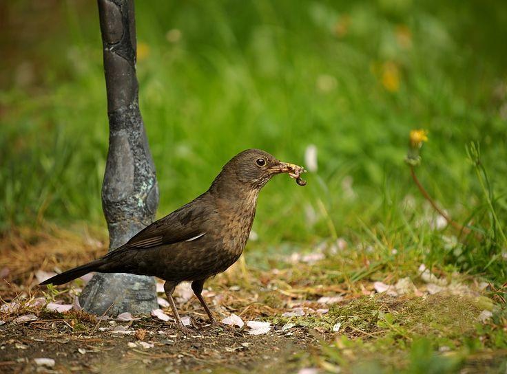 Cool Kostenloses Bild auf Pixabay Amsel Vogel Singvogel Garten
