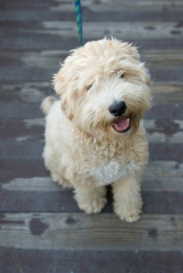 Hypoallergenic Dogs For Sale In Seattle Wa