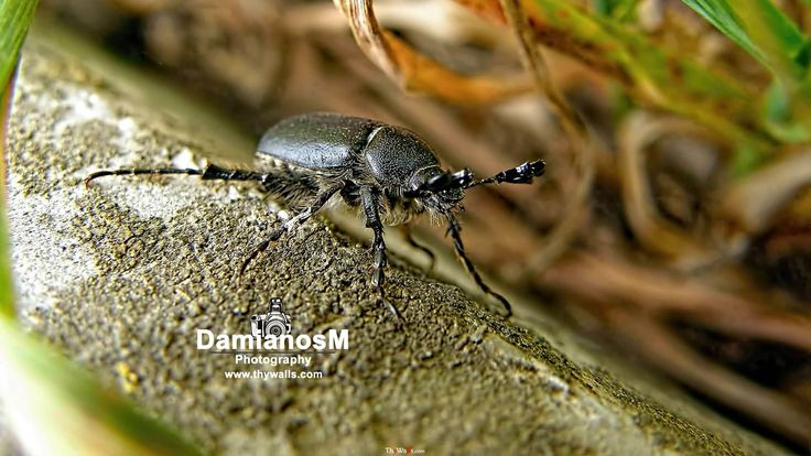 Scarab Beetle Anomala lucicola