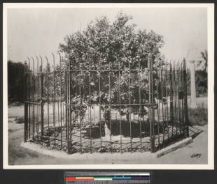 """""""The first orange tree brought to Riverside"""" surrounded by an iron picket fence, ca.1930 :: California Historical Society Collection, 1860-1960"""