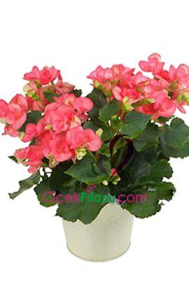 Begonya Çiçeği Bakımı, Yetiştirilmesi, budanması, sulanması, toprak, vitamin, ışık, ve rüzgar faktörlerine karşı direnci.