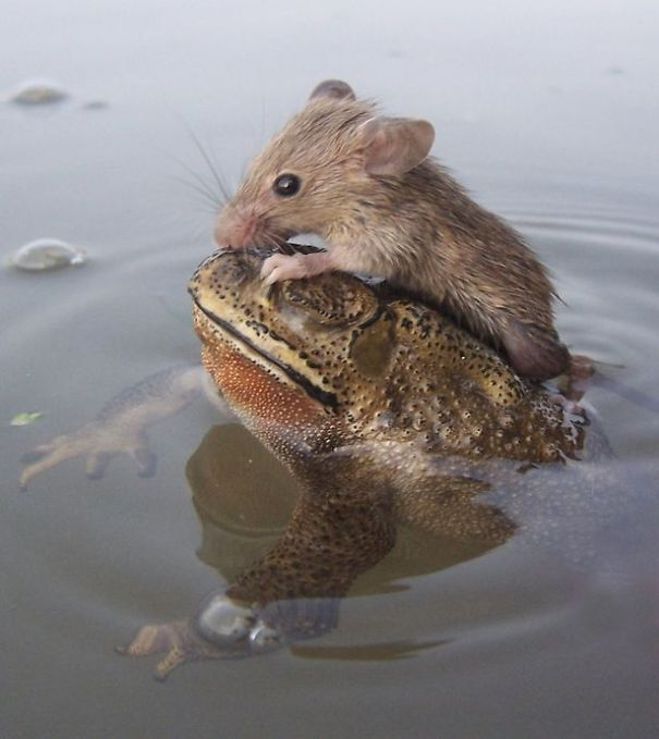 Rat In Trouble Finds An Unlikely Ally In A Fat Toad |