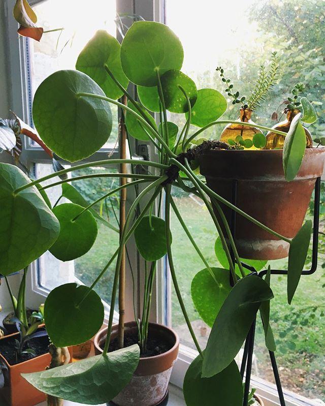 : maman PILEA peperomioides aperçue dans ma story de dimanche  . . . J'ai reçu cette plante par colis il y a un an, à l'automne dernier. Elle était beaucoup plus petite et son port tanguait légèrement sur un côté, j'ai accentué cela avec des jeux d'orientation. . Cet été ses feuilles étaient bien plus grandes car elle était orientée à l'Est avec le soleil du matin. Ici, elle profite du soleil du soir. . . On peut voir quelques boutures de Sedum qui prennent racines dans des récipients…