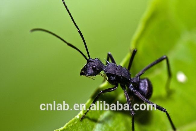 200g hot sale Polyrhachis vicina Roger P.E. Black ant extract powder 30:1 Black ant extract   Read more at The Bargain Paradise : https://www.nboempire.com/products/200g-hot-sale-polyrhachis-vicina-roger-p-e-black-ant-extract-powder-301-black-ant-extract/  Natural Black Ant,Polyrhachis vicina Roger P.E.  Product Description  The Production of Black Ant Black ant is the unique ant proposed by the health ministry for food and medicine.it contains more than 70  kinds of