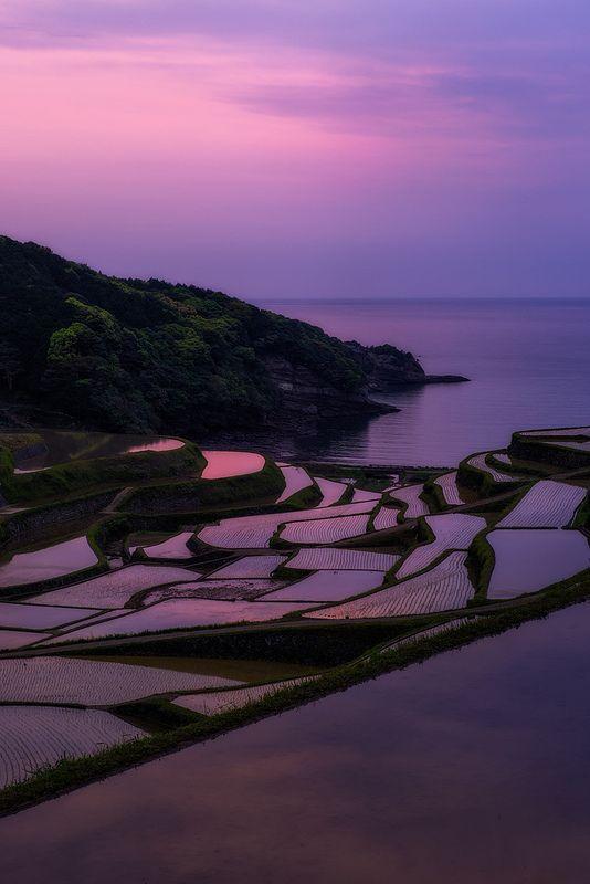 Purple Patches - terraced rice fields, Hamanoura, Genkai-cho, Saga, Japan
